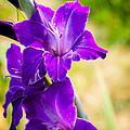 Iris by Debbie Karnes