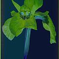 Iris Flower Design by Debra     Vatalaro