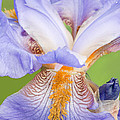 Iris Full Bloom by Regina Geoghan