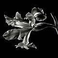Iris In Black And White by Endre Balogh