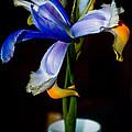 Iris by Jill Smith