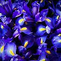 Iris by Lynn Wohlers