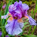Iris  by Lynne Jenkins