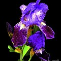 Iris On Black by Dale   Ford