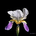 Iris by Steven Clipperton