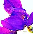 Iris Surprise  by Chris Berry