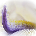 Iris Up Close by David Waldrop