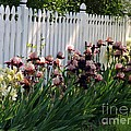 Iris With Fence  by Yumi Johnson