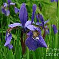Irises by Randi Shenkman
