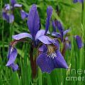 Irises by Randi Shenkman