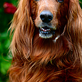 Irish Setter I by Jenny Rainbow