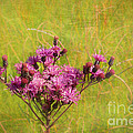 Ironweed In Autumn by Judi Bagwell