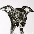 Italian Greyhound by Susan Herber