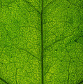 Ivy Leaf by Steve Gadomski