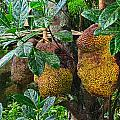 Jack Fruit by Mark Sellers