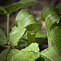 Jack In The Pulpit by Teresa Mucha