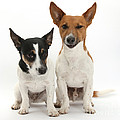 Jack Russell Terrier Dog, Rockie by Mark Taylor