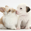 Jack Russell Terrier Puppy And Baby by Mark Taylor