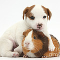 Jack Russell Terrier Puppy And Guinea by Mark Taylor