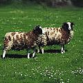 Jacob Sheep by The Irish Image Collection