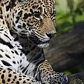 Jaguar by JT Lewis