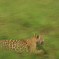 Jaguar Panthera Onca Running by Claus Meyer