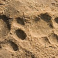 Jaguar Tracks by Tony Camacho