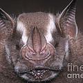 Jamaican Fruit Bat by Dante Fenolio