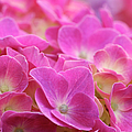 Japan, Kanagawa Prefecture, Sagamihara City, Close-up Of Pink Flowers by Imagewerks