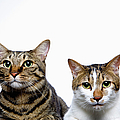 Japanese Cat And Manx Cat On White Background, Close-up by Ultra.f