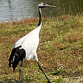 Japanese Crane by Bob Gibbons