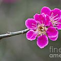 Japanese Flowering Apricot. by Clare Bambers