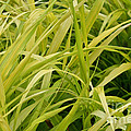 Japanese Forest Grass by Susan Herber
