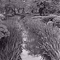 Japanese Garden With Irises by Julie VanDore
