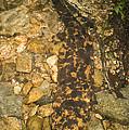 Japanese Giant Salamander by Dante Fenolio