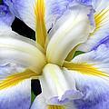 Japanese Iris by Dave Mills