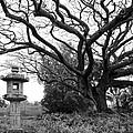 Japanese Lantern And Tree - Liliuokalani Park - Hilo Hawaii by Daniel Hagerman
