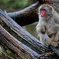 Japanese Macaque by Keith Allen