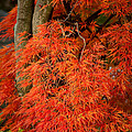 Japanese Maple In Autumn by  Onyonet  Photo Studios