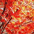 Japanese Maple Leaves 12 In The Fall by Duane McCullough
