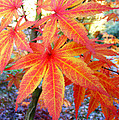 Japanese Maple Leaves 13 In The Fall by Duane McCullough