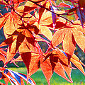 Japanese Maple Leaves 6 In The Fall by Duane McCullough