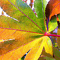 Japanese Maple Leaves 7 In The Fall by Duane McCullough