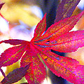 Japanese Maple Leaves In The Fall by Duane McCullough