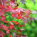 Japanese Maple Leaves by Neil Overy