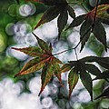 Japanese Maple by Lori Coleman