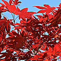 Japanese Maple by Susan Herber