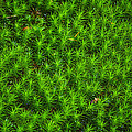 Japanese Moss by Diego Re