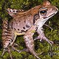 Japanese Ranid Frog by Dante Fenolio