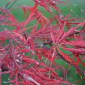 Japanese Red Leaf Maple Hybrid by Leann DeBord